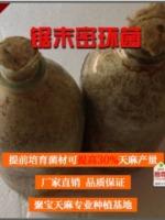 天麻�N植密蜜�h菌/木屑菌�N